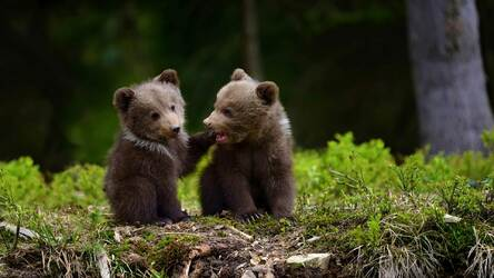 Bears Wallpapers Bear Cubs New Tab Themes Hd Wallpapers