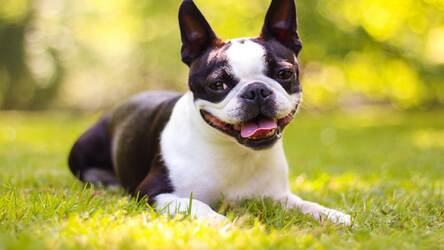 Boston Terrier Hd Wallpaper New Tab Themes Hd Wallpapers