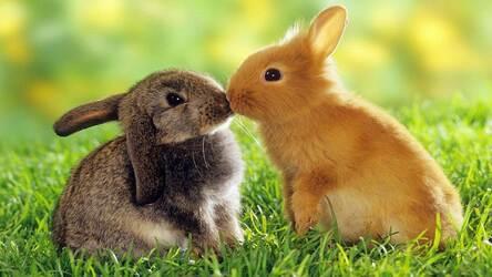 Cute Bunny Rabbit Wallpaper Hd Rabbits Themes Hd