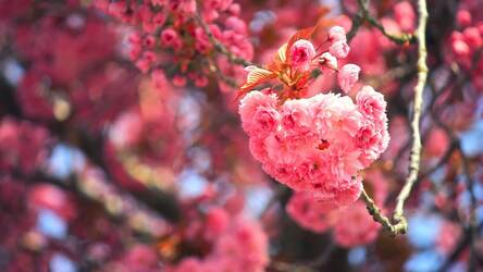 Cherry Blossom Hd Wallpapers New Tab Themes Hd Wallpapers