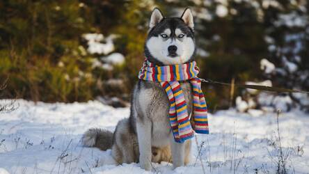 Husky Wallpaper Hd New Tab Huskies Themes Hd Wallpapers Backgrounds