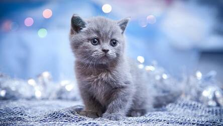 Cute Kittens Wallpaper Hd Kitty Cats Themes Hd Wallpapers
