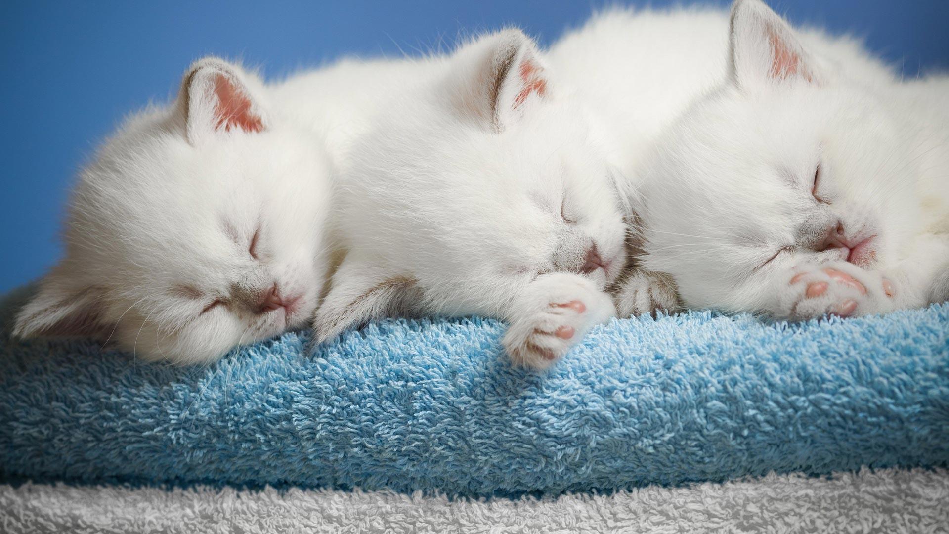 صورة مميزة ورائعة لثلاث قطط لونهم ابيض نائميين