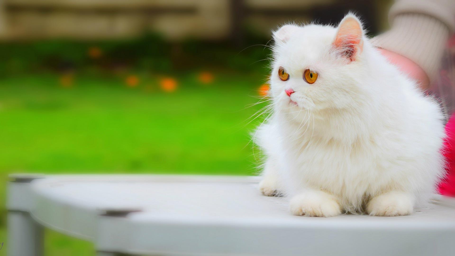 قطة راقيقة وناعمة جدا لونها ابيض تجلس على منضدة