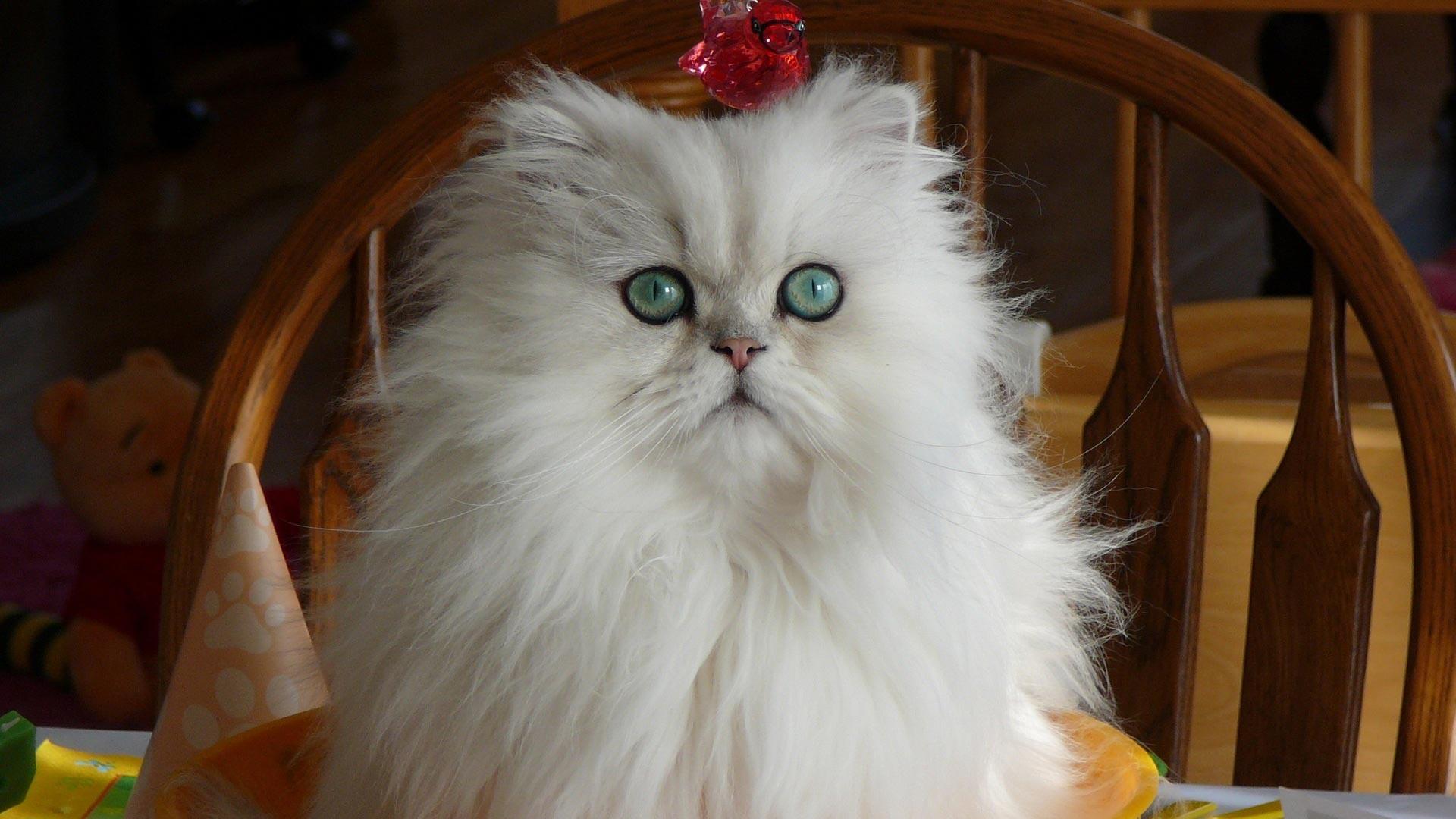 قطة بيضاء وعيونها خضر جميلة جدا
