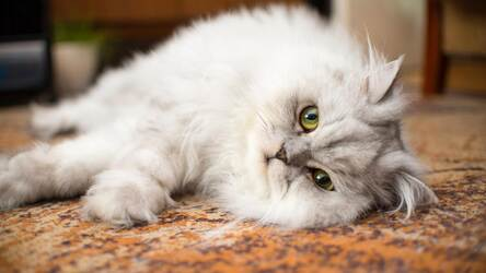 Persian Cats HD Wallpapers Cute Cats New Tab