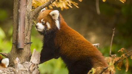 Red Panda Hd Wallpapers New Tab Themes Hd Wallpapers Backgrounds