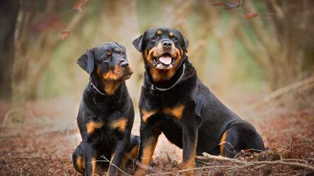 Rottweiler Wallpaper Cute Dogs New Tab Themes Hd Wallpapers Backgrounds