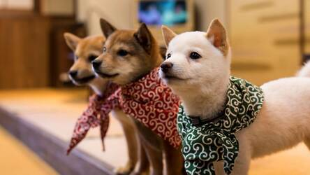 Shiba Inu Hd Wallpapers New Tab Themes Hd Wallpapers Backgrounds