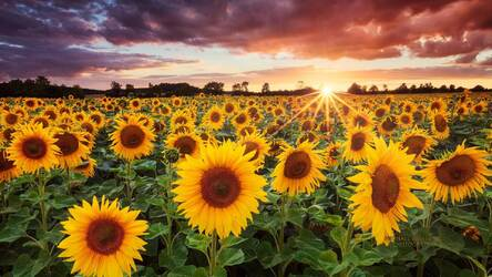 Sunflowers Hd Wallpaper Sunflower New Tab Hd Wallpapers Backgrounds
