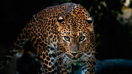 Wild Cats Wallpaper Hd Lion Tiger Puma Themes Hd