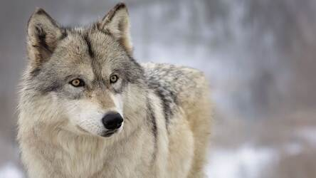 Wolf Wallpaper HD New Tab - Wolves