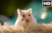 Hamster Wallpaper HD New Tab Hamsters Themes