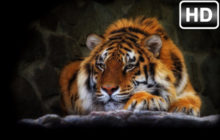 Wild Cats Wallpaper HD Lion-Tiger-Puma Themes