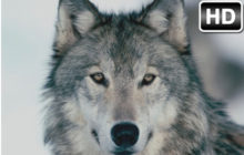 Wolf Wallpaper HD New Tab – Wolves Themes