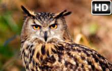 Owl Wallpaper HD New Tab – Owls Themes