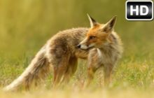 Fox Wallpaper HD New Tab – Cute Foxes Themes