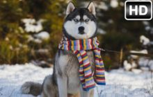 Husky Wallpaper HD New Tab – Huskies Themes