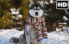 Husky Wallpaper HD New Tab – Huskies Themes