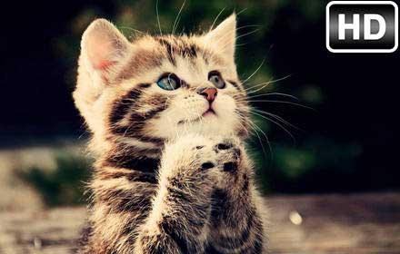 Cute Kittens Wallpaper Hd Kitty Cats Themes Hd