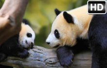Panda Wallpaper HD NewTab Pandas Bears Themes