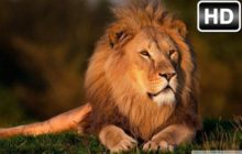 Lion Wallpaper HD Lions New Tab Themes