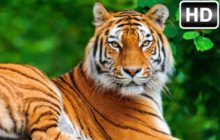 Tiger Wallpaper HD New Tab Tigers Themes