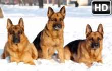 German Shepherd Wallpaper HD Dogs New Tab