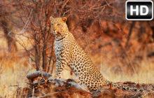 Leopard Wallpaper HD New Tab Leopards Themes
