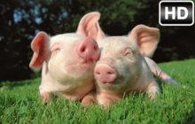 Pig Wallpaper HD Pigs New Tab Themes