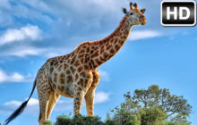 Giraffe Wallpaper HD New Tab Giraffes Themes