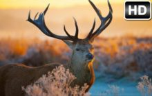 Deer Wallpaper HD Deers New Tab Themes