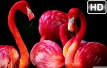 Flamingo Wallpaper HD Flamingos New Tab