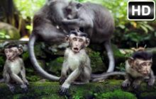 Monkey Wallpaper HD New Tab Monkeys Themes