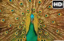 Peacock Wallpaper HD New Tab Peafowl Themes