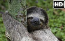 Sloth Wallpaper HD New Tab Sloths Themes