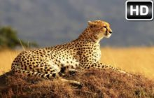 Cheetah Wallpaper HD New Tab Cheetahs Themes
