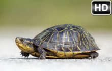 Turtle Wallpaper HD Turtles New Tab Themes