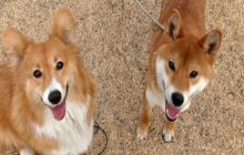 Shiba Inu vs Corgi! Which One Makes Better Family Dog?