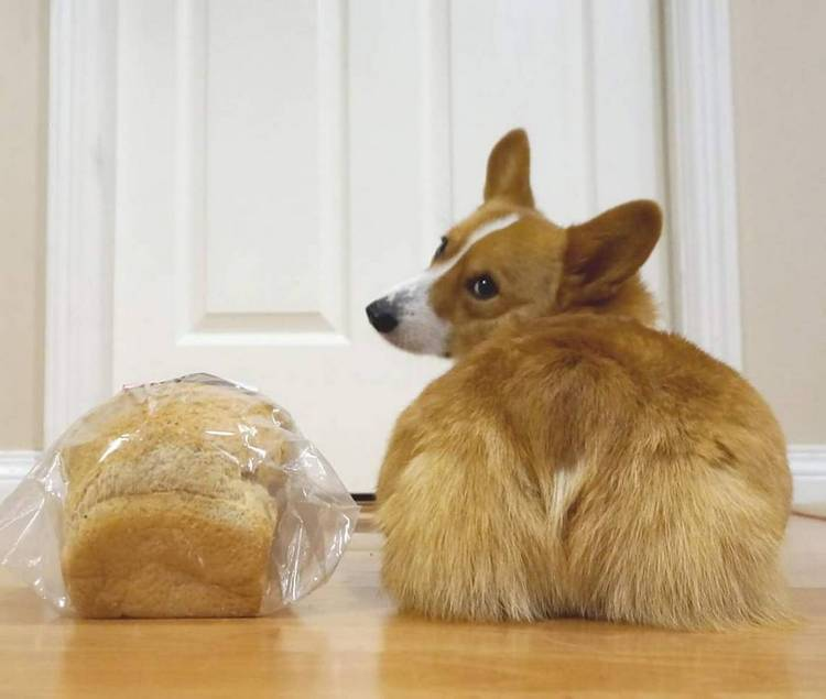 Dogs that look like corgis
