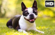 Boston Terrier HD Wallpaper New Tab Themes