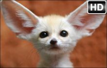 Fennec Fox HD Wallpaper New Tab Themes