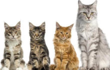 Maine Coon Cat – Gentle Giants of the Feline World