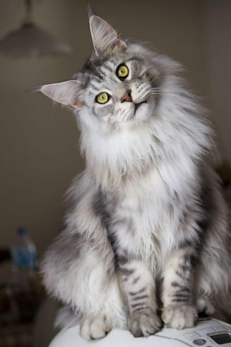 Maine Coon Cat Gentle Giants Of The Feline World