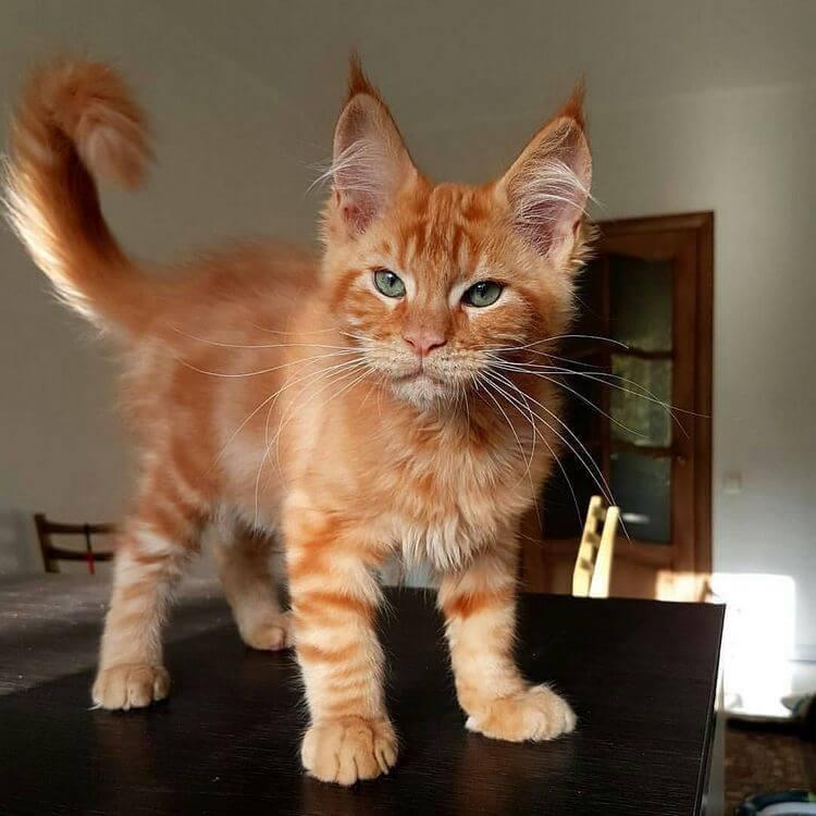 Maine Coon Cat – Gentle Giants of the Feline World