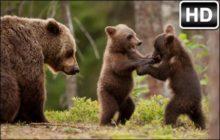Bears Wallpapers Bear Cubs New Tab Themes