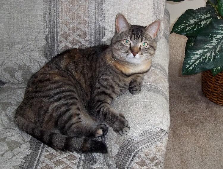 قطة جميلة لونها رمادى فى اسود جالسة على كرسى