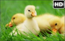 Cute Ducks HD Wallpaper Duck New Tab Themes