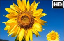 Sunflowers HD Wallpaper Sunflower New Tab