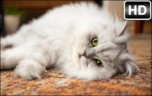Persian Cats HD Wallpapers Cute Cats New Tab